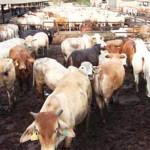 Pemerintah Siap Impor 300 Ribu Ekor Sapi