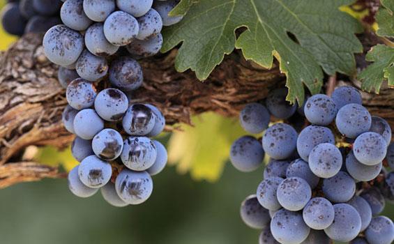 Pokok-Anggur