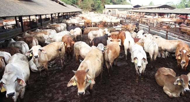 ri-segera-impor-300-ribu-sapi