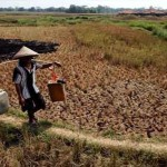 169 Hektar Sawah Terancam Puso