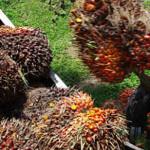 Lampung Selatan, Harga Kelapa sawit Kian Terpuruk