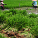 Prioritaskan Pembangunan Pertanian di Pedesaan