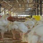 Naiknya Harga Jagung Tak Pengaruhi Harga Ayam di Lampung