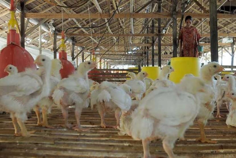 peternakan-ayam-_130718155113-389