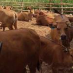 Menjelang Ramadan, Ketersediaan Daging Sapi Melimpah di Lampung