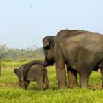 Panamtu, Gajah yang Tewaskan Dokter di Jawa Tengah adalah Lulusan Way Kambas