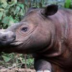 'Ratu' lahirkan anak badak ke dua di Taman Nasional Way Kambas