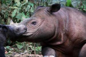 kelahiran-badak-sumatra 2