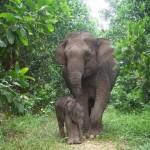 Ini dia tujuh rencana tindak lanjut pemecahan solusi konflik manusia dan gajah di Kecamatan Semaka Kabupaten Tanggamus
