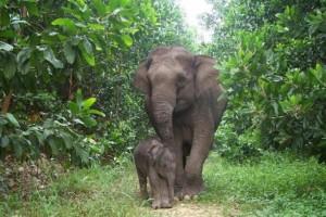 Gajah di Taman Nasional Way Kambas.