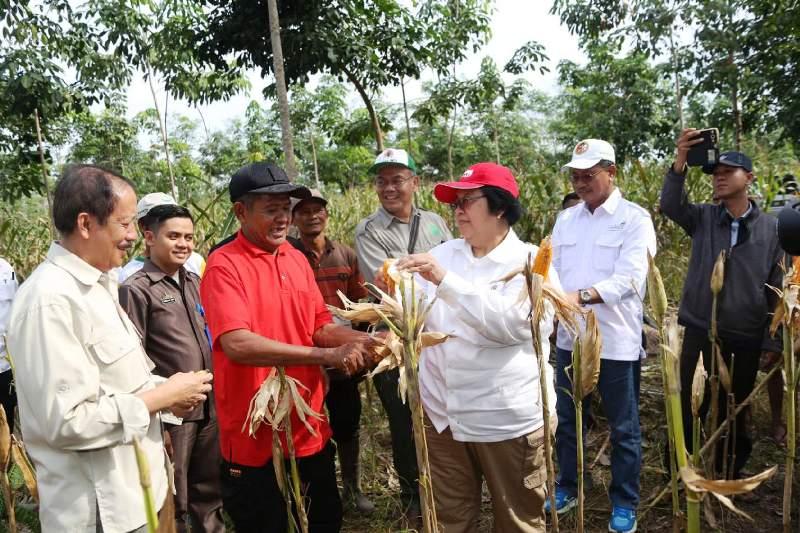 Menteri Lingkungan Hidup dan Kehutanan Siti Nurbaya memanen jagung bersama Dirjen serta Plt. Sekdaprov Sutono di Desa Karang Rejo Kecamatan Jati Agung, Lampung Selatan, Sabtu 16 Juli 2016.