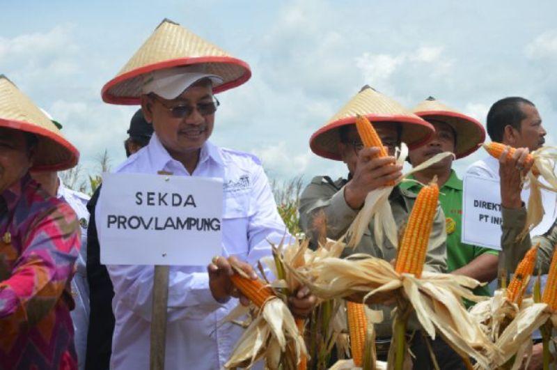 "Pj.Sekda Provinsi Lampung Ir.Sutono menghadiri ""Panen Perdana Jagung PT. Inhutani V"" di Kawasan Hutan Register 46 Kabupaten Way Kanan, Sabtu 24 September 2016."