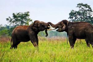 gajah-taman-nasional-way-kambas-2