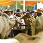 Provinsi Lampung Lima Besar Nasional Capaian Sapi Wajib Bunting