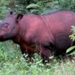 Badak Sumatera Delilah, hari ini genap berusia satu tahun