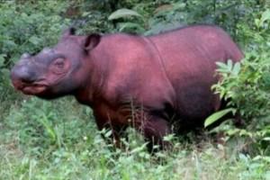 Badak Sumatera Delilah hasil perkawinan pasangan badak Andalas dan Ratu di Suaka Rhino Sumatera (SRS) Taman Nasional Way Kambas (TNWK), Lampung Timur.