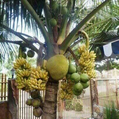 Ilustrasi buah tidak sesuai pohonnya