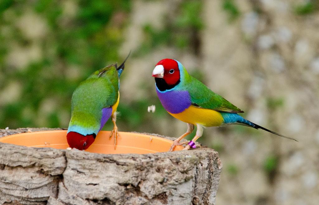 Ilustrasi Burung Pipit