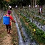 Pertahankan Surplus Cabai, Distan Lampung Latih Petani Kendalikan Hama