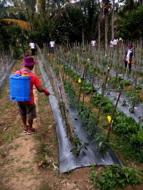 Lahan pertanaman cabai milik Kelompok Tani Jaya Mulya I, di Desa Dadapan Kecamatan Sumberrejo Kabupaten Tanggamus