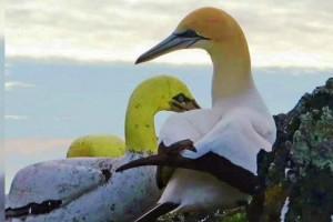 Burung Paling Kesepian di Dunia Mati di Tengah Patung Tiruannya (Facebook Friends of Mana)