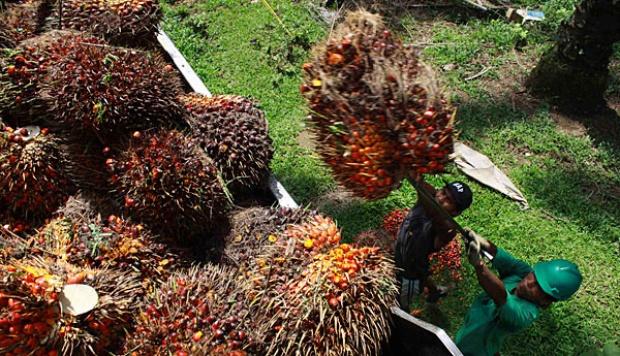 riauheadline_CPO-Terpuruk--Harga-TBS-Kembali-Turun-di-Riau-
