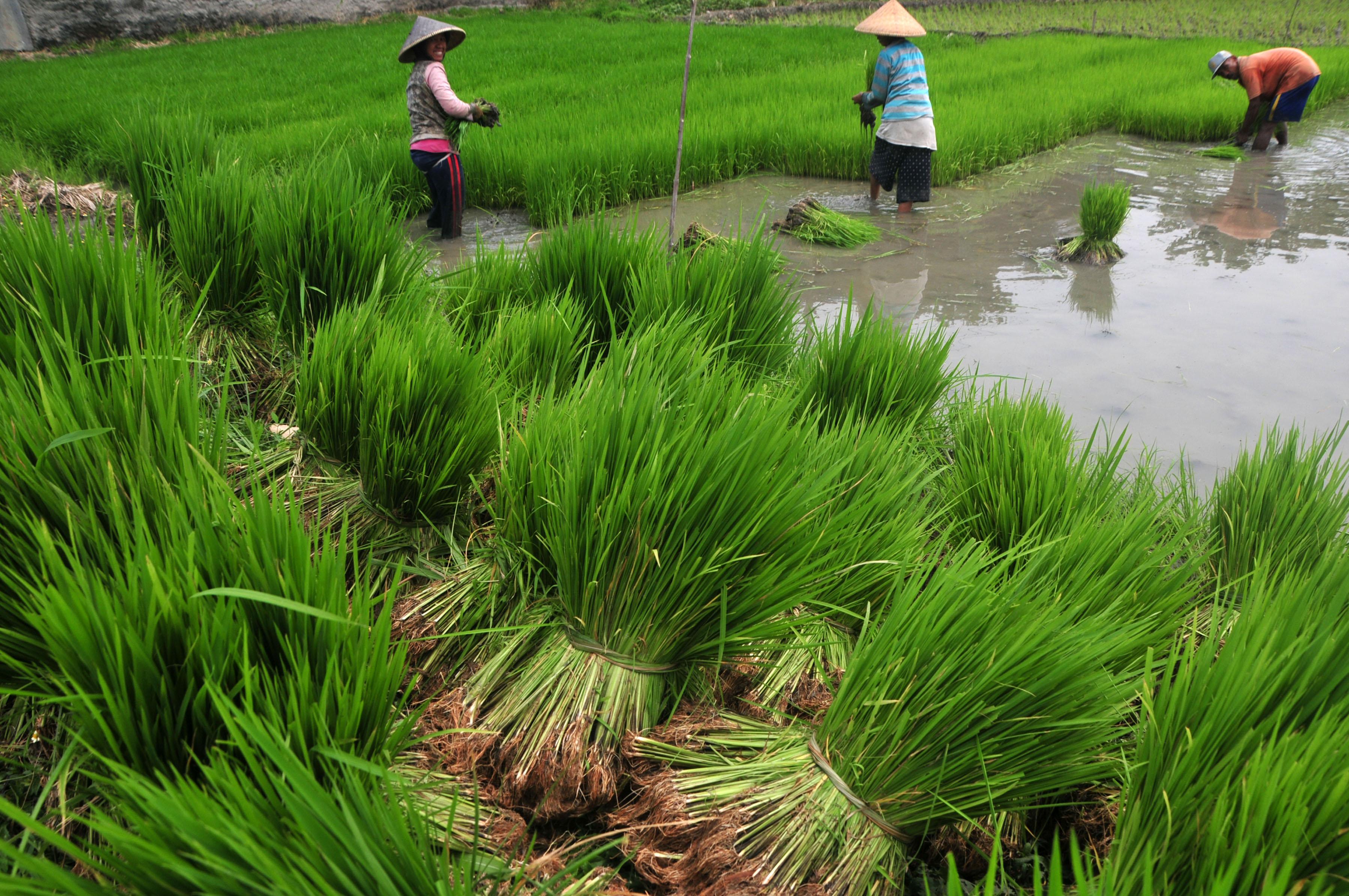 Sejumlah pekerja memindahkan bibit tanaman padi yang siap ditanam di Desa Pesarean, Kabupaten Tegal, Jateng, Senin (8/12). Kementerian Pertanian menyalurkan bantuan berupa benih, pupuk dan alat mesin pertanian guna mengoptimalkan pemanfaatan 500 ribu hektare lahan pertanian di 12 provinsi dengan anggaran Rp1,3 triliun pada musim tanam pertama. ANTARA FOTO/Oky Lukmansyah/Koz/mes/14.